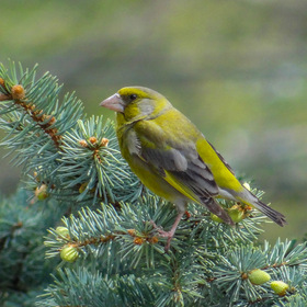 Зеленушка European greenfinch
